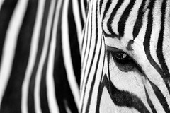 Day 247: Black and White (Antonio Cangiano) Tags: calgary alberta canada ca day247 365 365project project365 redditphotoproject picoftheday yyc tourismcalgary explorecalgary calgaryism calgaryzoo zebra zebras blackandwhite bw stripes wild wildlife wildlifelovers abstract lines african africansafari safari okanaganphotographer naturelovers naturelover