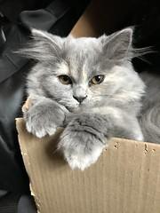 Evie Kitten the pretty girl (pooka loves tomatoes) Tags: selkirk rex kitten cat pedigree cute superlove