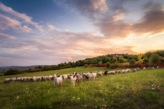 On the way home (RobertFenyo) Tags: landscape animals flock herd sunset atmosphere colorful beautiful