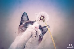(Akemi A.) Tags: cat catlover catsonflickr ellie gatinha apaixonadaporgatos pet beautiful crazy photography canon t5i 50mm igcats dandelion dentedeleao taraxacum flower