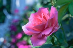 have a nice evening, my friends:) (martinap.1) Tags: rose rosa rosenblüte nikon nature nikond3300 nikon40mmmacro nikon40mm flower blüte blume bokeh blossom macro makro outside garten pflanze plant colourful mehrfarbig bunt farbenfroh farbig licht light farben colours