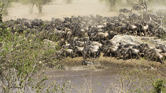 Migracao GNU - Travessia do Rio Mara 11 (Joao Pena Rebelo) Tags: tanzania gnus wildebeest migration safari serengeti wildebeests marariver