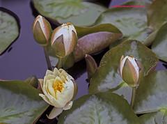 Tropical Day Flowering Lily. (rumerbob) Tags: tropicaldayfloweringwaterlily waterlily llly tropicalwaterlily flower floral flowergarden fauna botany botanicalgardens botanical longwoodgardens canon7dmarkii canon100mmmacrolens