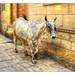 Jaisalmer IND - Cattle