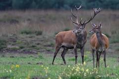 Edelhert (G Vermeer) Tags: fauna wild zoogdieren naruur wildlife hogeveluwe veluwe hert nikond500 nikon200500mm bronst deer red reddeer hirsche hirch edelhert