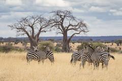 Interlocked Zebra on Lookout Duty (Michael Zahra) Tags: africa tanzania serengeti safari travel tourism conservation nature wildlife tree rock grasslands savannah canon 7d2 outdoors adventure explore animal mammal zebra predator prey sky clouds baobab