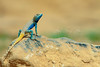 Brilliant Ground Agama (S. Saqib Shams-II) Tags: sindh pakistan pk