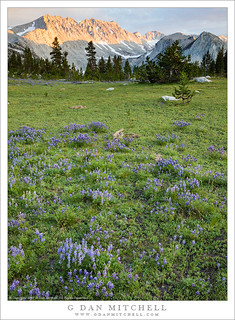 Lupine-Filled Meadow, Evening