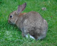 Rabbit (stuartcroy) Tags: rabbit scotland sony green grass