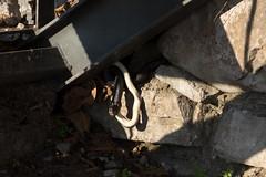 Snake regurgitating another snake | Varenna evening-4 (Paul Dykes) Tags: varenna lombardy lombardia italy italia lakecomo lagodicomo eveninglight evening snake viper regurgitation it