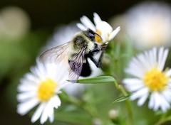 Bumbles bounce (mpalmer934) Tags: bumblebee bee insect pollen daisy green yellow white black bokeh outdoors