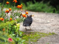 Fuite (paullesur) Tags: merle oiseau bird nature animal creuse limousin campagne foret fleurs mousse vert souffrance pain blackbird noir