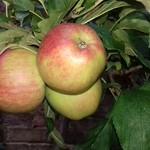 My Apples - not a euphemism :-)