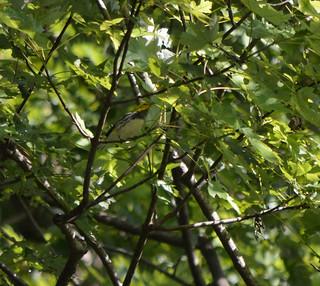 Black-throated Green Warbler_9186_02