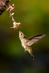 Hummer Refueling..... (Vimal V P) Tags: hummingbird food garden bird inflight flower honey vimal vimalvp nikond750 tamron150600 nikon desertbotanicalgarden arizona phoenix usa