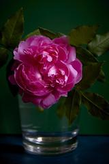 Pink Glass Rose (5) (dddoc1965) Tags: dddoc davidcameronpaisleyphotographer autumn flowers plants leafs grass seeds maxwellton september12th2017