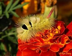 Pale Tussock Moth Caterpillar (Calliteara Pudibunda ). (ronalddavey80) Tags: pale tussock moth caterpillar canon eos70d