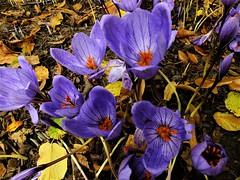 """ Oracle The Dream "" (hope2029) Tags: sunshine rain crocus flowers autumn meanwood leeds west yorkshire"