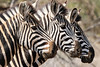 2016 10 16_Burchell's Zebra-1.jpg (Jonnersace) Tags: zebra mammal africa southafrica canon safari blackandwhite burchellszebra equusquaggaburchellii heads