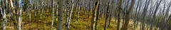 Green Mountain Autumn Hike - Ascending through an Aspen grove pano (benlarhome) Tags: canada alberta kananaskis sheepriver greenmountain trail trek trekking hike hiking autumn fall herbst