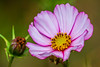 so nice flower (dr.larsbergmann) Tags: summer flowering flowers flower languageofflowers flora florescence flowerscolors blossom bloom blooming photography photo macrodreams macro ef100400mmf4556lisiiusm canon flickr closeup beautiful thebeautyofnature greatphotographers