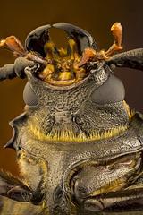 Prionus coriarius (bayramkus) Tags: makro macro macrophotography makrofotoğrafçılık prionuscoriarius longhorn cerambycidae cerambycid extrememacro focusstacking mitutoyo mitutoyo5x closeup micro microscope coleoptera kınkanatlı entomoloji entomology biology biyoloji animals animalia animalplanet canlılar hayvanlaralemi bugs beetle beetles insect insects insectphotography