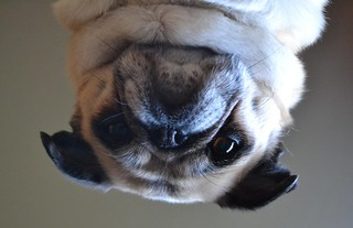An Upside Down Pug