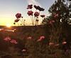 Ompah sunset (lifecatcher2010) Tags: 2c45 ompah flowers backlighting sunset