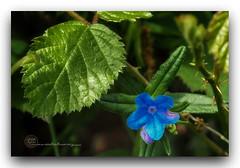 MUNDO VERDE. (manxelalvarez) Tags: mundoverde verde azul bosque matojos flora flores floresazules