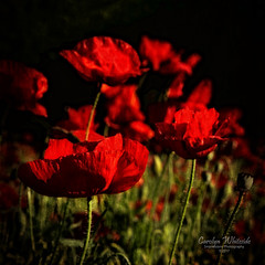 Red Poppies in Shadow
