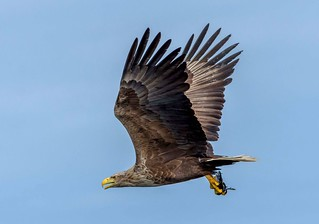 JWL0040  Sea Eagle...