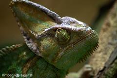 Kameleon (Chamaeleonidae) (kimberlydejager) Tags: antwerpenzoo dierentuin zoo reptiel reptile kameleon