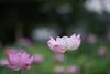 20170816 小山田神社【大賀蓮】 (syashindorakunin) Tags: 花 nelumbonucifera oyamadashintoshrine ハス 蓮 大賀蓮 小山田神社 lotus japan