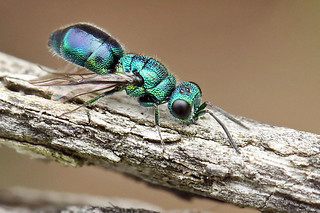 A Ruby-tailed Wasp, without the Ruby. (Chrysis ignita).