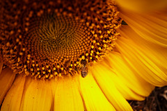Make A Wish sunflower photo shoot (evilfoo) Tags: charity summer 2017 flowers august farm mn coldspring makeawish sunflowers