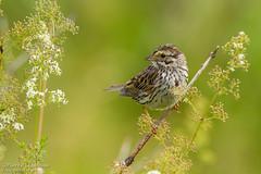 Bruant des prés / Savannah Sparrow (Pierre Lemieux) Tags: montlouis québec canada ca bruantdesprés savannahsparrow gaspésie