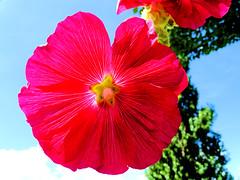 Rose trémière (jean-daniel david) Tags: rosetrémière rose nature fleur rouge ciel cielbleu verdure closeup macro