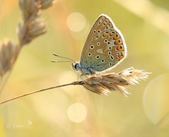 Backlit blue (~ **Barbara ** ~) Tags: butterfly commonblue backlit sun morning pose grass warmingup dew drops spots macro canon7d2