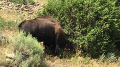 Video of Bull Bison Fighting Tree During Rut - 8387 (Teagden (Jen Hall)) Tags: bison bull bullbison rut bisonrut video jenniferhall jenhall jenhallphotography jenhallwildlifephotography wildlifephotography wildlife photography wild yellowstonenationalpark yellowstone yellowstonepark yellowstonewildlife ynp iphone iphonevideo