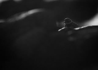 Ringed Plover - Charadrius hiaticula