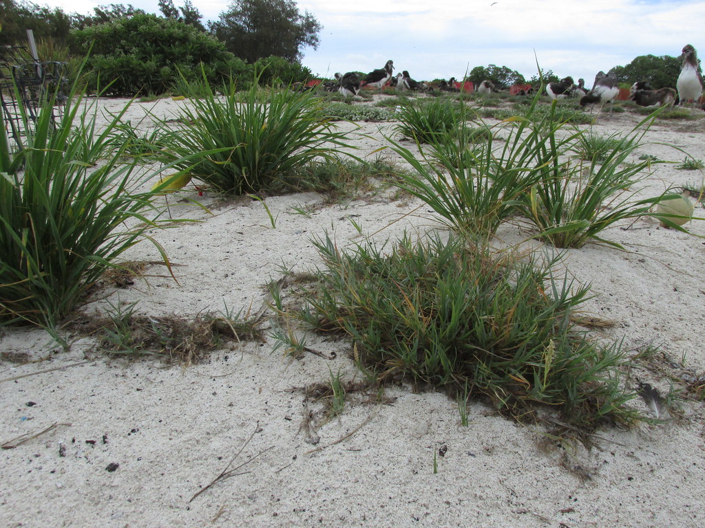 starr-170629-0105-Sporobolus_virginicus-small_patch_with_emoloa_and_Laysan_Albatross_chicks-Turtle_Beach_Sand_Island-Midway_Atoll