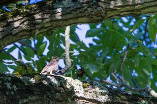 Juvenile Great Crested Flycatcher?
