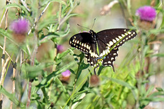 DSC08391 - Beauty Everywhere (archer10 (Dennis) 101M Views) Tags: halifax ship tall sails sony a6300 ilce6300 18200mm 1650mm mirrorless free freepicture archer10 dennis jarvis dennisgjarvis dennisjarvis iamcanadian novascotia canada black swallowtail butterfly