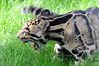 Clouded leopard (lesbaer4) Tags: ouwehandsdierenpark ouwehandszoo ouwehands clouded leopard nevelpanter