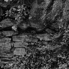 _7192528.jpg (sylvain.collet) Tags: france olympus bataille noiretblanc nature trunk battle lesaillant mur correze tronc pierresseches antagonisme