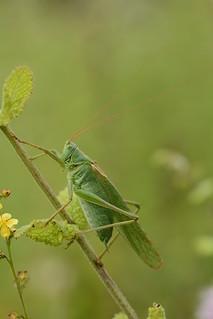 great green bush cricket (Tettigonia viridissima) male
