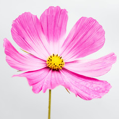 Cosmos.Sq.  ( Explore ) (Jez22) Tags: cosmos flower highkey copyright jeremysage explore nature pink beautiful colorful beauty bloom floral closeup pretty fresh colour bright natural plant petals freshness kent england