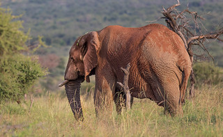 African elephant with red/brown dust in Pilanesberg