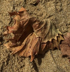 Transient beauty of vine~ Explored (Wendy:) Tags: wabisabi explored autumn dessicated dried vine leaf fanos koufonissi