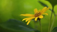 Topinambur (Helianthus tuberosus) (Stefan Zwi.) Tags: flower topinambur thebeast open offenblende 20 extensiontube ngc npc